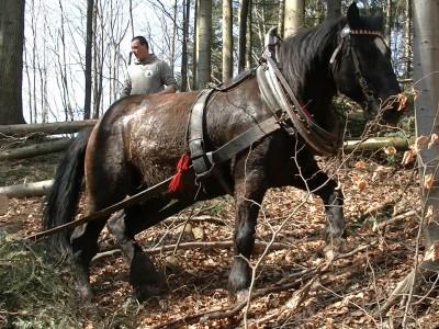 Chladnokrevní koně v Sázavském údolí